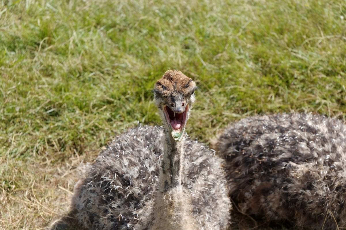 Images gratuites la nature animal faune zoo autruche - Bebe autruche ...