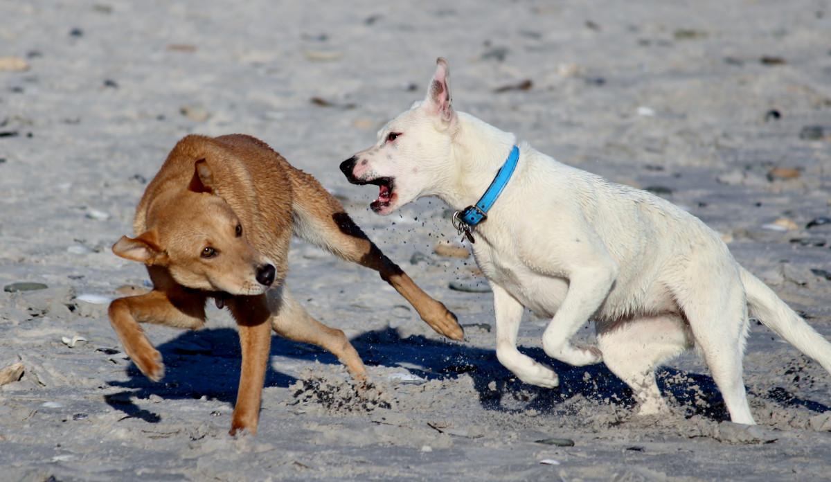 Free Images : beach, play, pet, dogs, vertebrate, dog ...