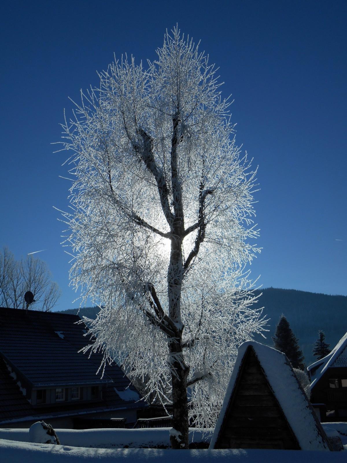 Images gratuites arbre branche neige hiver plante - Photos de neige gratuites ...