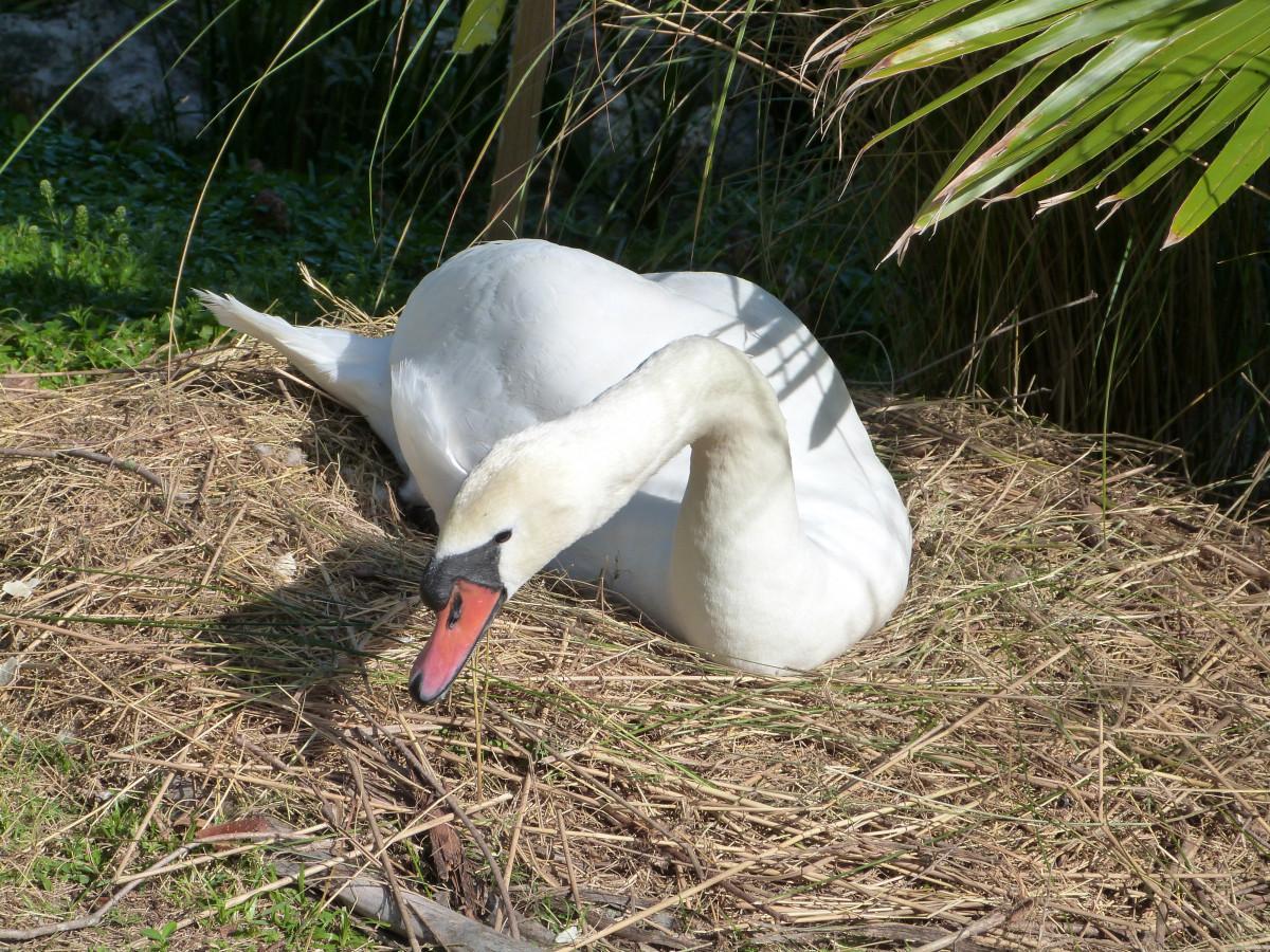 Poze Animale Sălbatice Cioc Aviare Faună Lebădă Gâscă