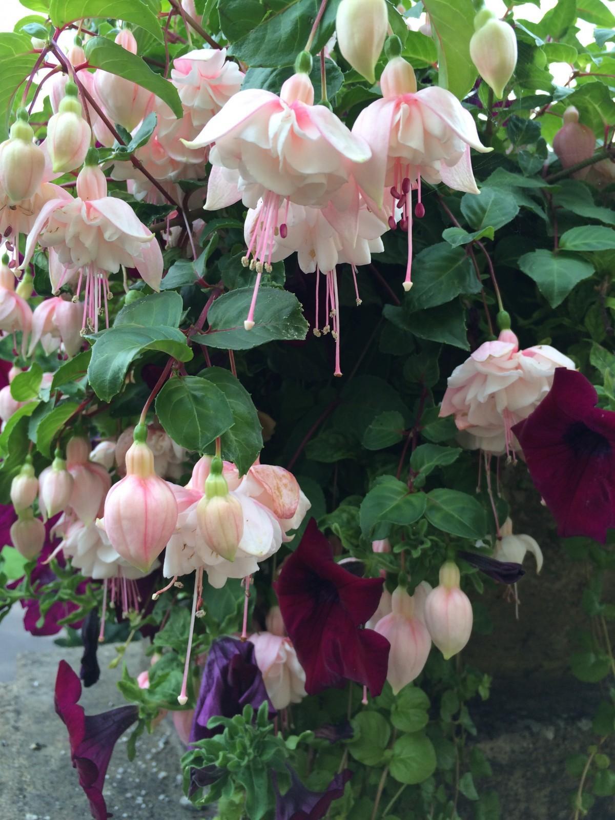 Immagini belle fiore botanica arbusto fucsia pianta for Rose da giardino