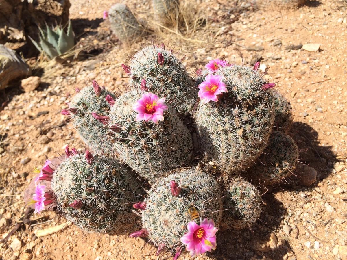 картинки цветущие кактусы в пустыне меня есть несколько
