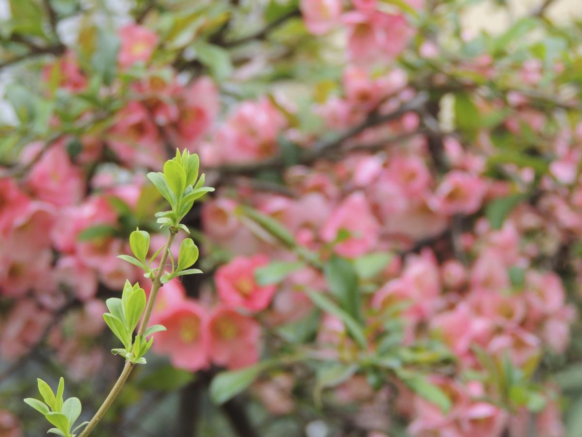 images gratuites arbre branche feuille fleur produire feuilles persistantes botanique. Black Bedroom Furniture Sets. Home Design Ideas