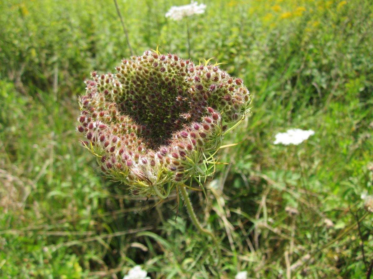 la nature herbe fleur plante Prairie prairie fleur Floraison produire botanique fermer flore Fleur sauvage chardon plante à fleurs Famille de marguerites Daucus carota Famille d'herbe Plante terrestre Carotte sauvage