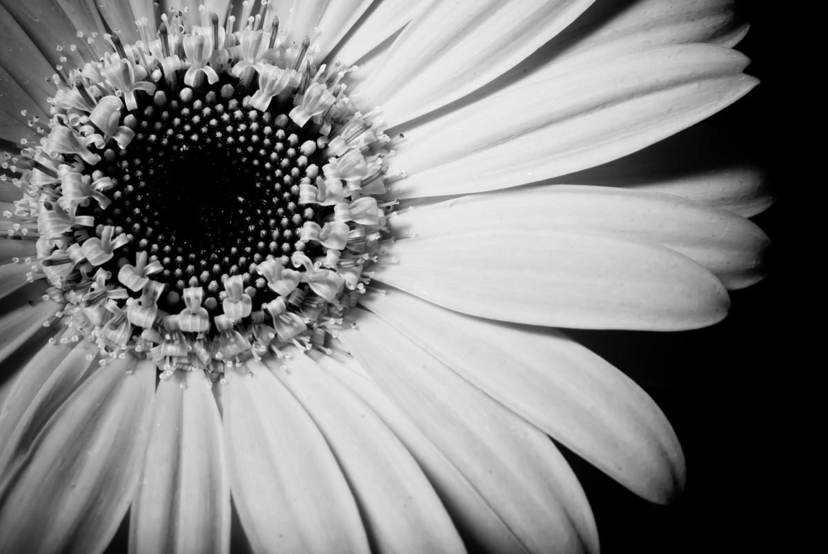 Blossom Black And White Plant Photography Stem