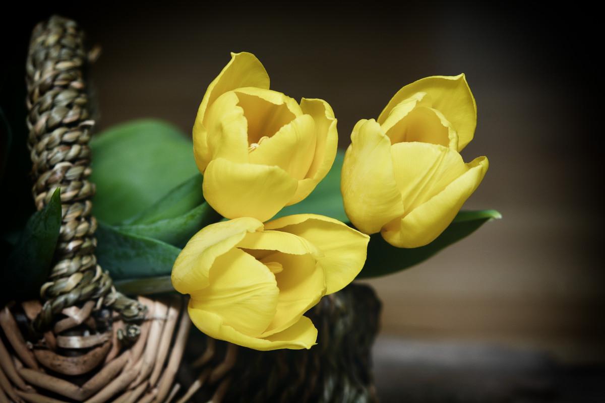 kostenlose foto blume bl tenblatt gelb korb flora tulpen floristik fr hlingsblumen. Black Bedroom Furniture Sets. Home Design Ideas