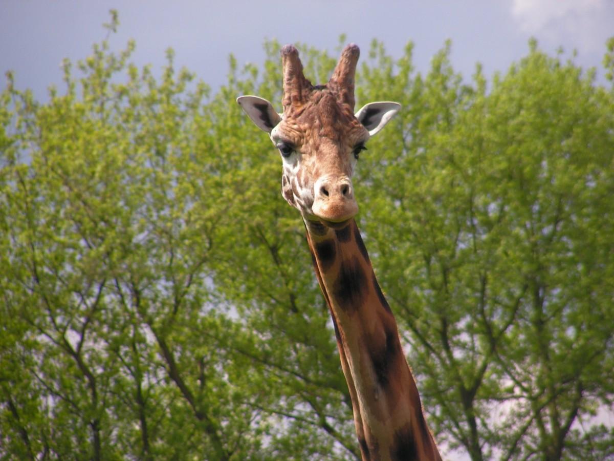 Жираф на дереве картинки для разложенном