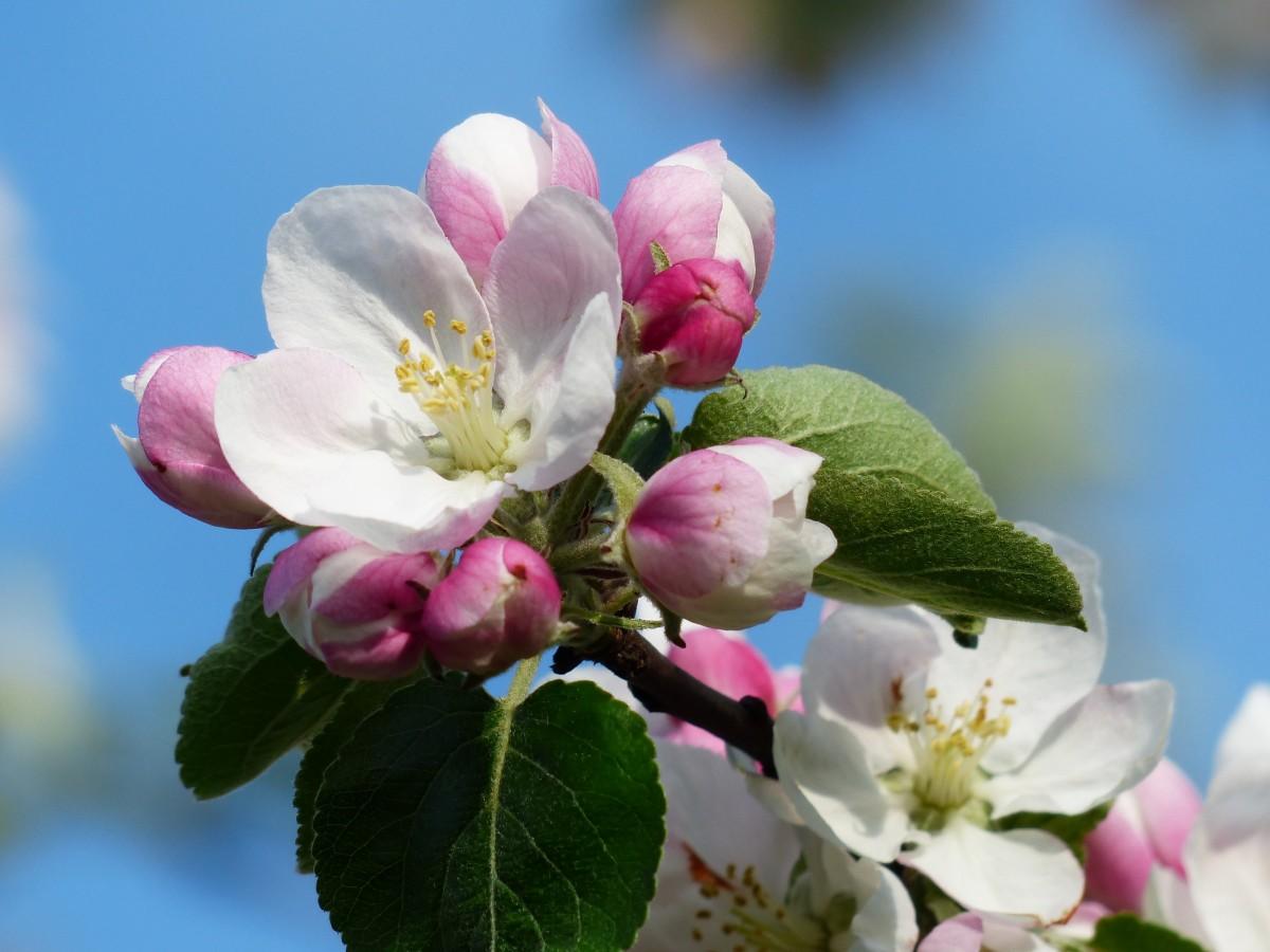 Открытка, яблоневый цвет картинки