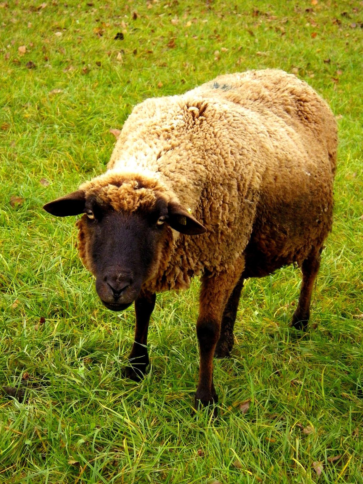 Images gratuites herbe ferme prairie corne troupeau - Photos de moutons gratuites ...