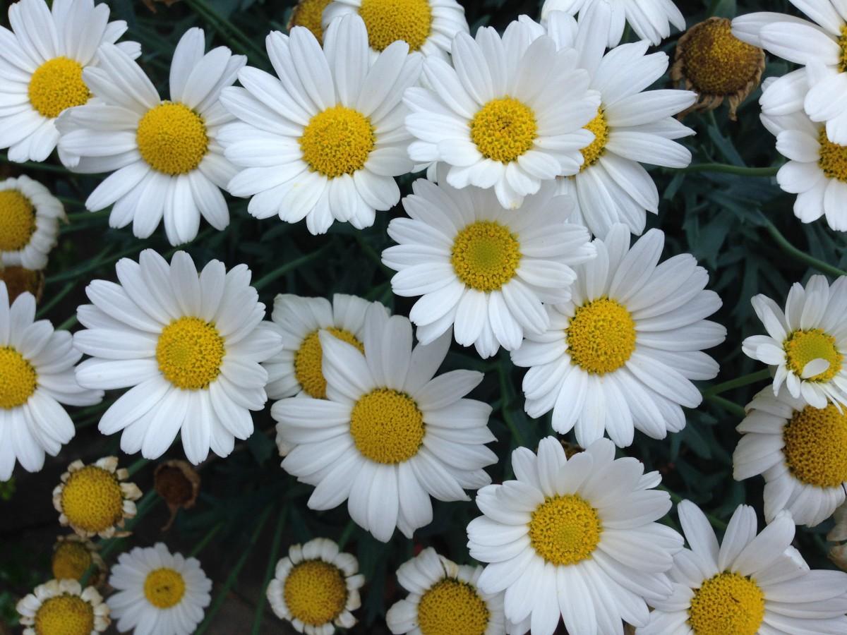 Gambar : alam, menanam, putih, daun bunga, musim panas