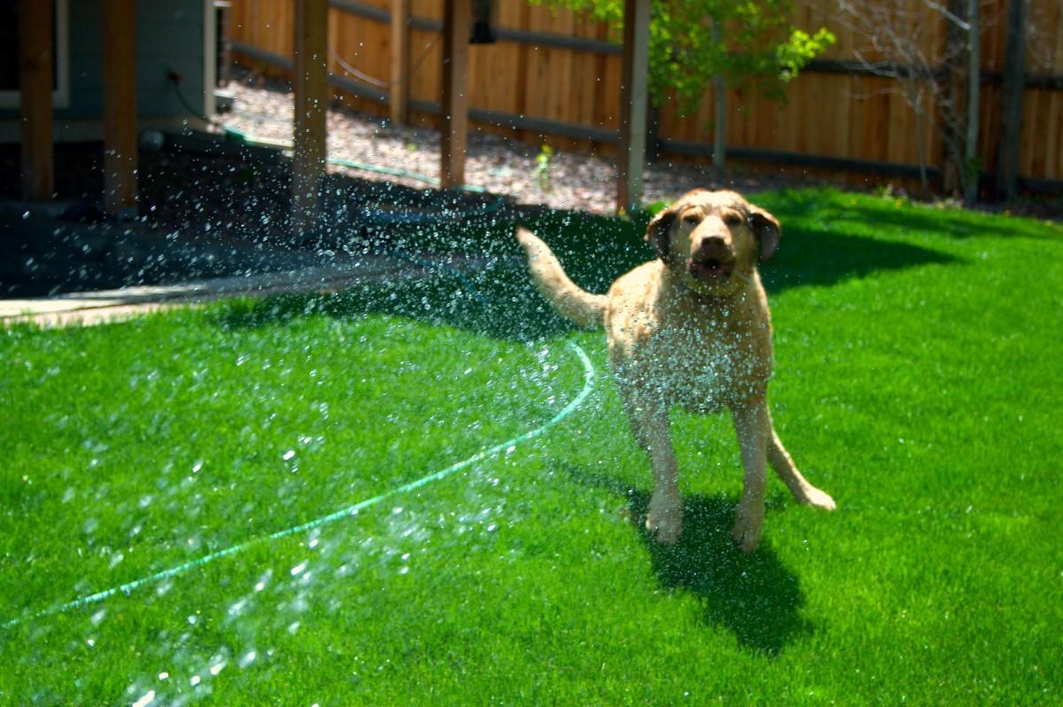 water, grass, lawn, flower, dog, green, spray, backyard, garden, fun, hose, yard, retriever, kodi, chessepeak, dog like mammal, Free Images In PxHere