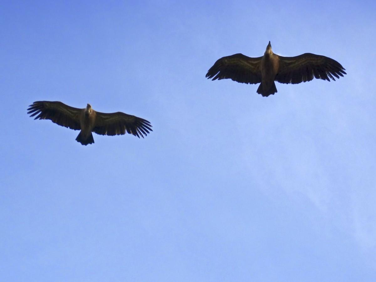 pájaro ala cielo pico vuelo águila ave de rapiña águila calva aves vertebrado buitre cóndor Buitres Accipitriformes