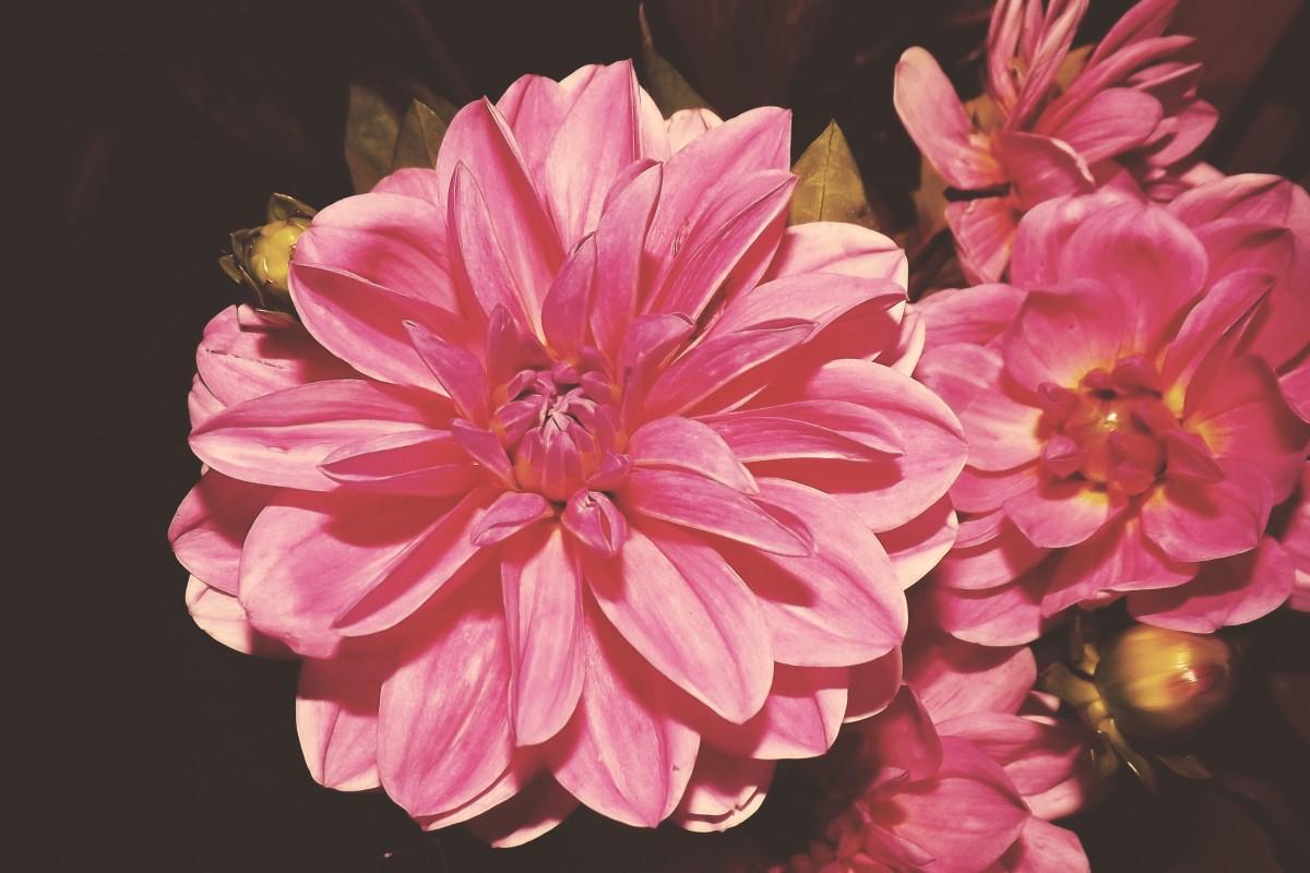 Free Images : blossom, vintage, retro, flower, petal ...