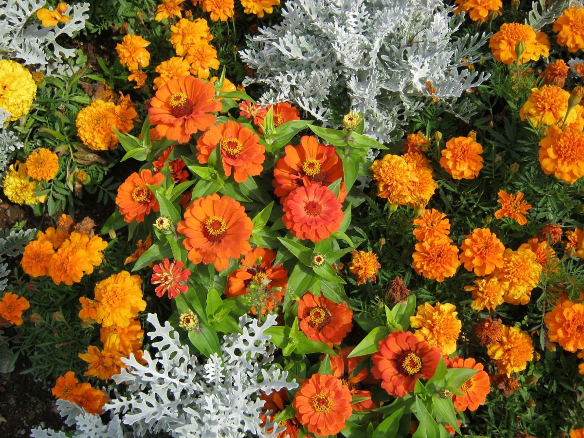 Margaritas De Colores En La Hierba 30995: Fotos Gratis : Flor, Verano, Naranja, Produce, Color