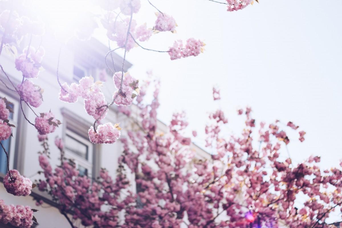 εικονεσ : λουλούδι, ροζ, μωβ, πασχαλιά, λεβάντα, άνθος κερασιάς ...
