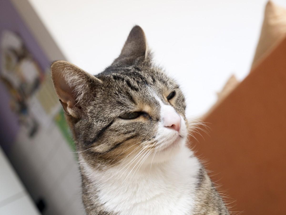 images gratuites jouer souris mignonne animal de compagnie chaton b illement nez. Black Bedroom Furniture Sets. Home Design Ideas