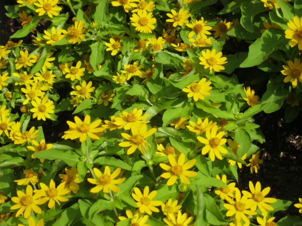 kostenlose foto blume immergr n botanik gelb flora pflanzen wildblume blumen strauch. Black Bedroom Furniture Sets. Home Design Ideas