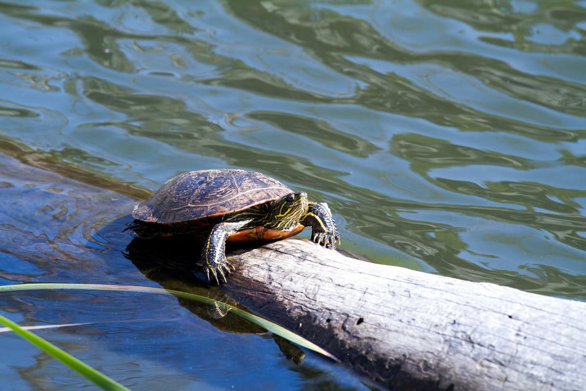 провёл водная черепаха картинки красота