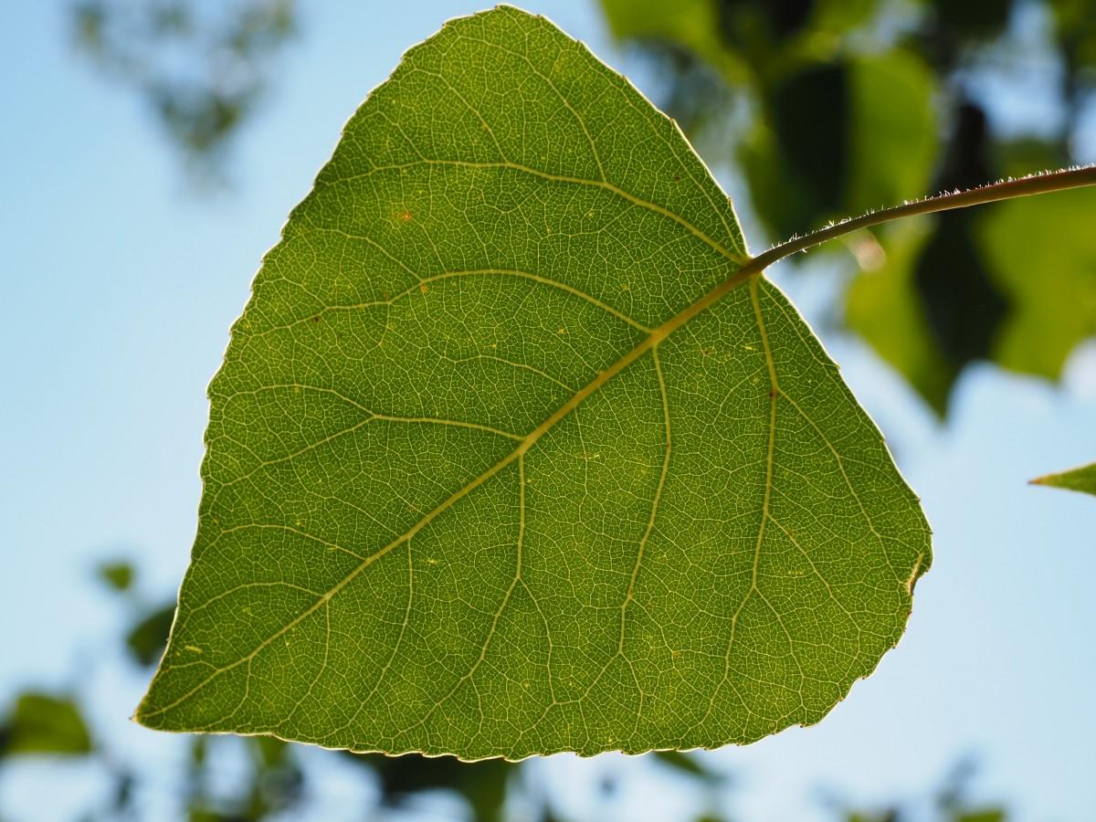 пациенты листок зеленый для меня возьми у тополя ваших силах