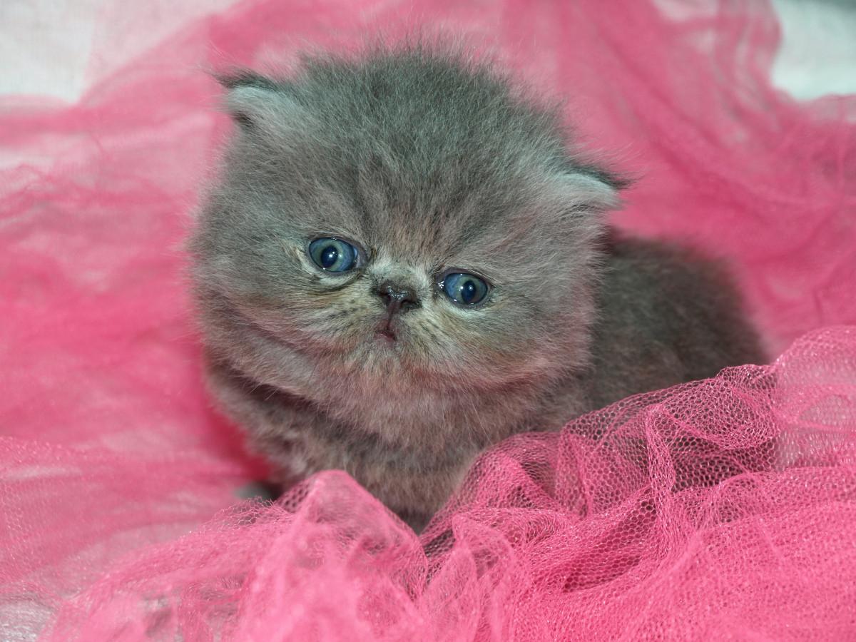 Gratis nero rosa micio