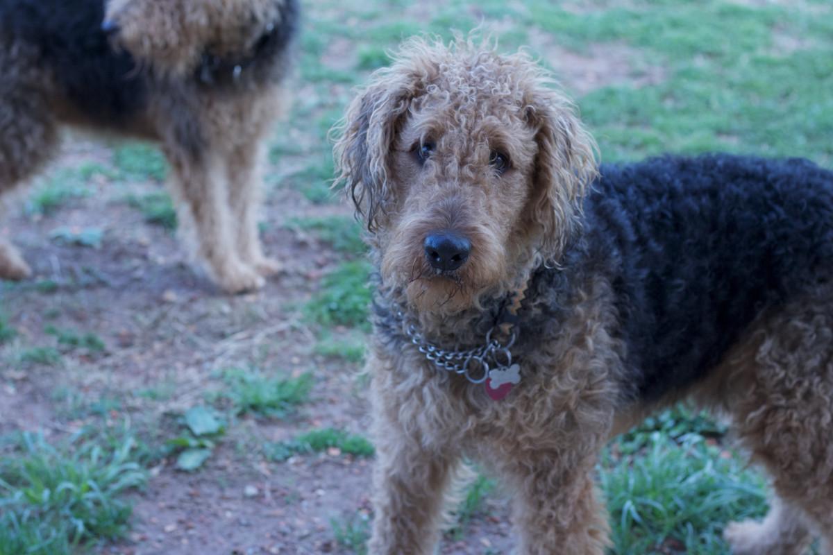 Free Images : hound, hunting dog, vertebrate, dog breed, dachshund ...