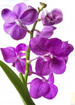 Gambar menanam ungu daun bunga botani Flora anggrek