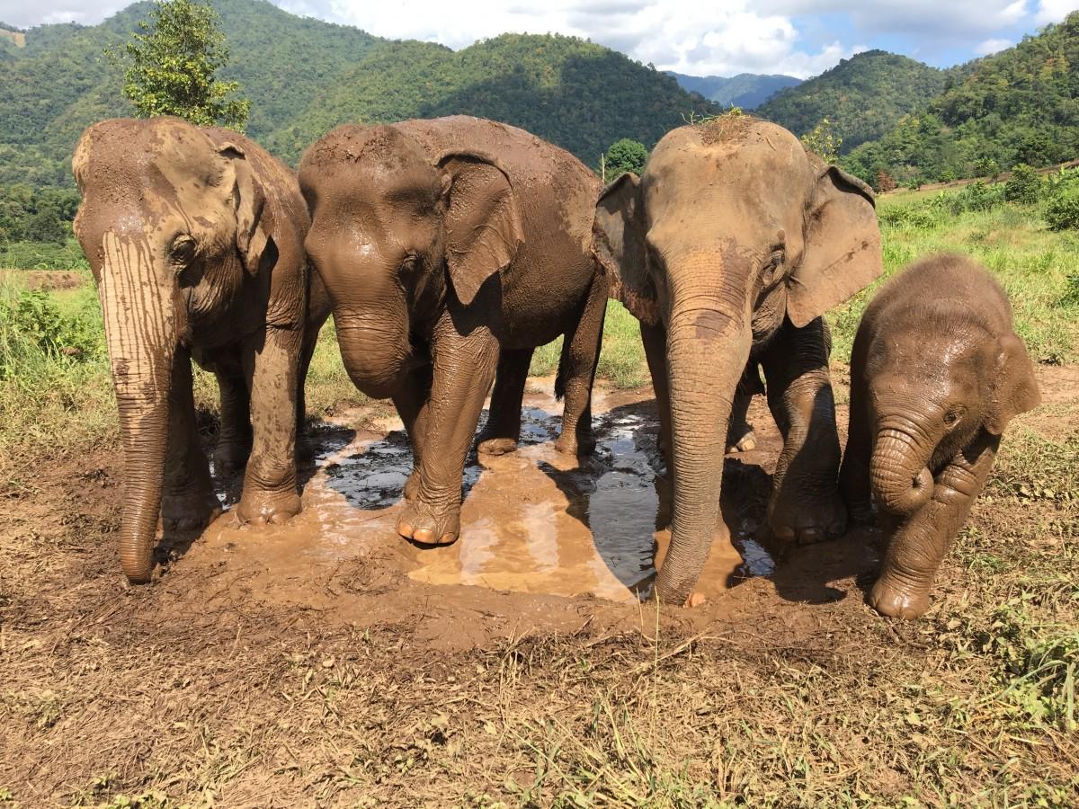 Images gratuites faune mammif re savane l phant safari l phant indien l phant d - Photos d elephants gratuites ...
