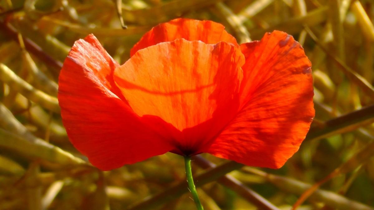 Фото листьев цветка мака