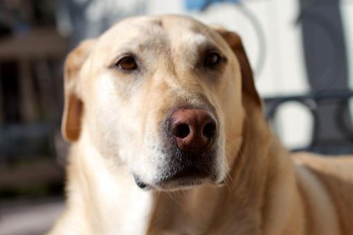 dog,mammal,nose,golden retriever,snout,vertebrate