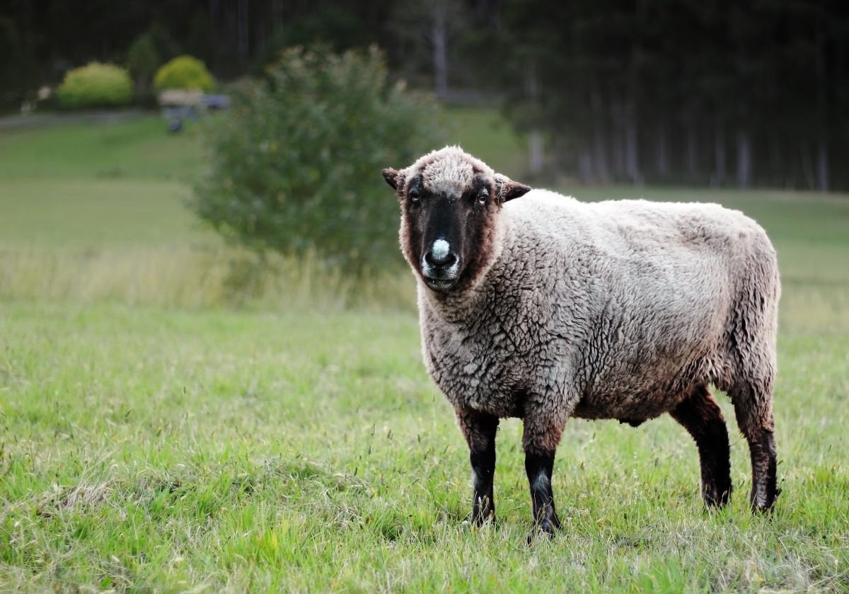 Images gratuites herbe champ ferme prairie troupeau - Photos de moutons gratuites ...