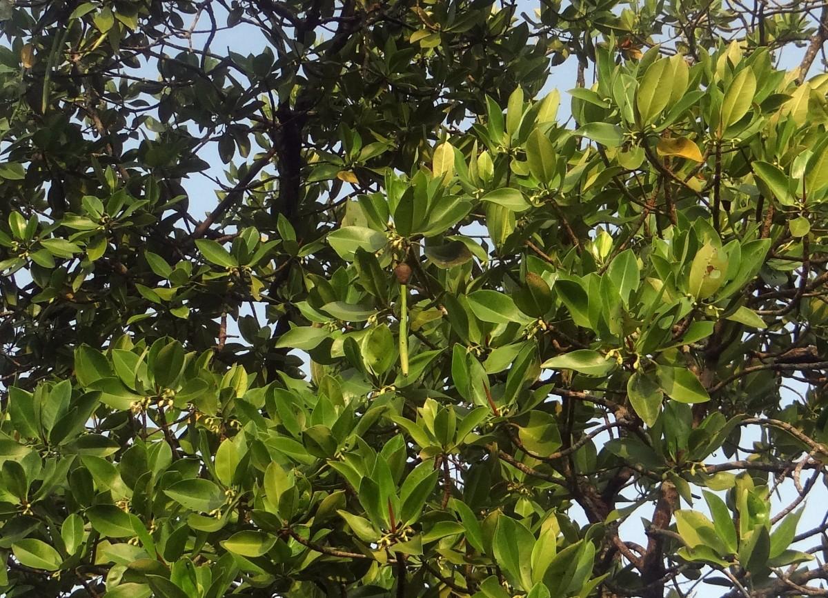Images gratuites arbre feuille fleur produire for Arbres a feuilles persistantes