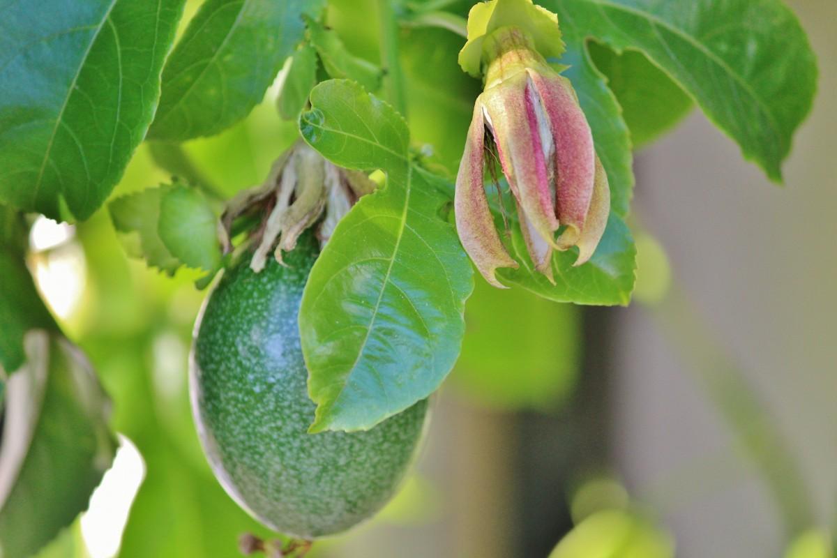 images gratuites arbre branche feuille aliments vert produire grimpeur flore arbuste. Black Bedroom Furniture Sets. Home Design Ideas
