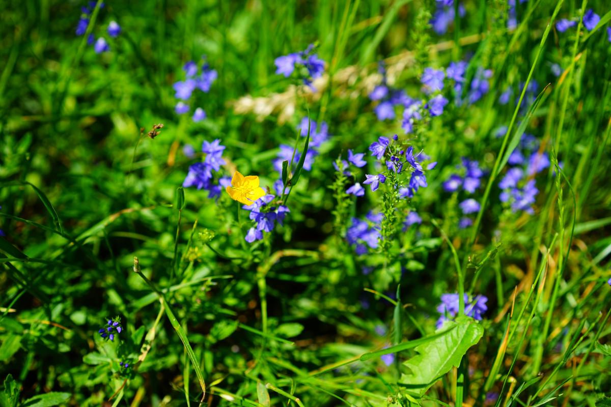 kostenlose foto natur gras rasen wiese pr 228 rie gr 252 n botanik blau gelb flora