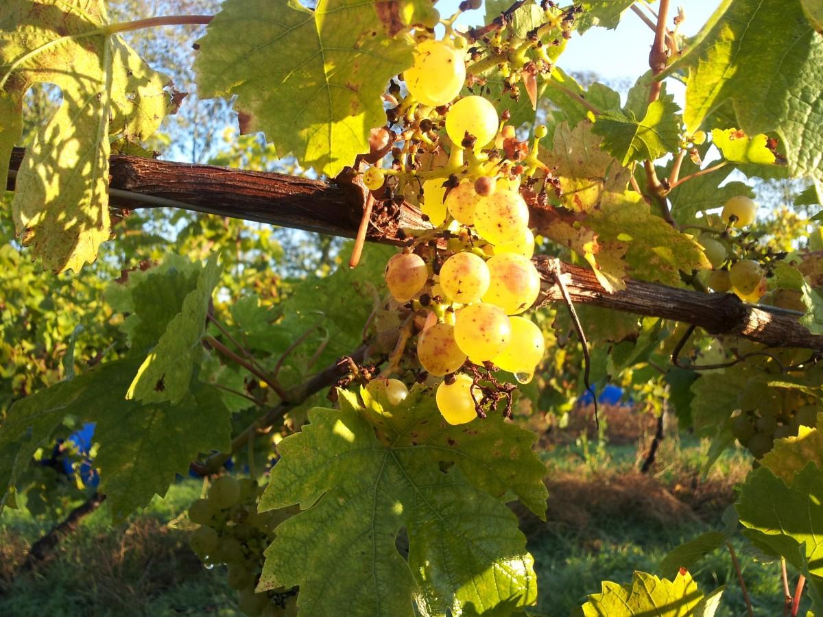 arbre, branche, plante, grain de raisin, vignoble, fruit, printemps, l'automne, agriculture, vin blanc, plante à fleurs, Vitis, Famille de la vigne, seyval blanc, vin anglais