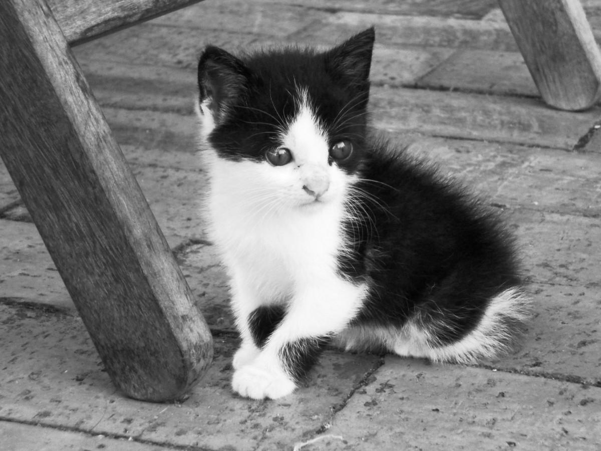 Fotos Gratis : En Blanco Y Negro, Mascota, Gatito, Gato