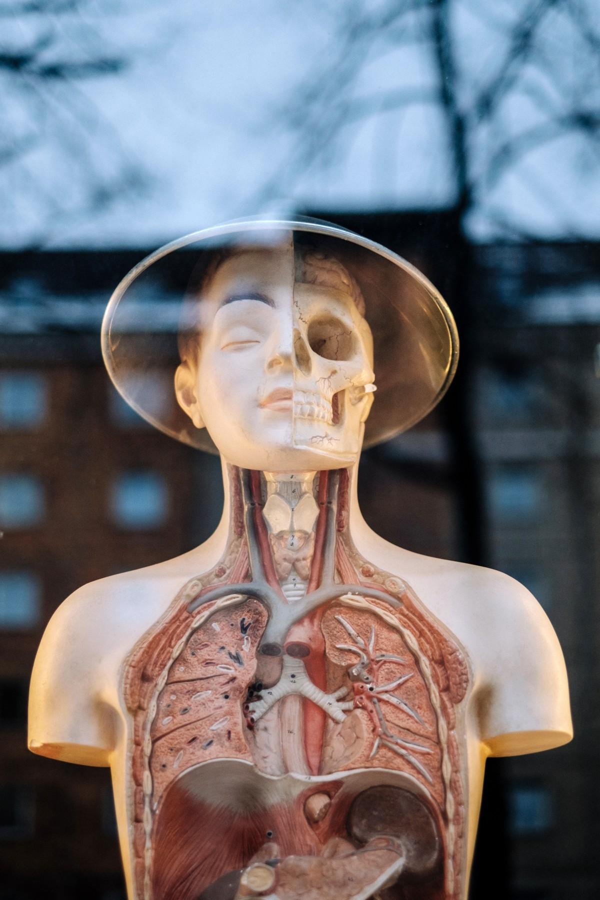 Fotos gratis : Monumento, estatua, pulmón, cuerpo humano, anatomía ...