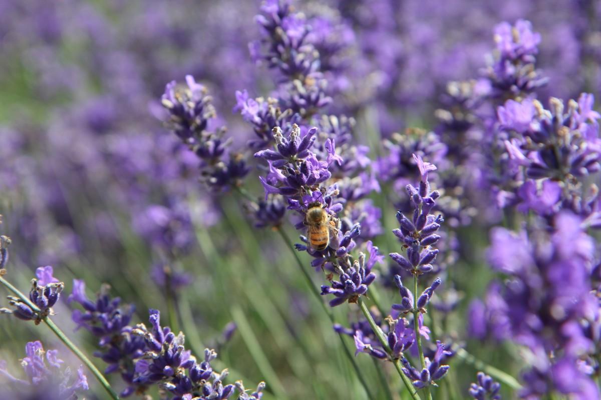 kostenlose foto wiese blume kraut insekt botanik flora lavendel wildblume. Black Bedroom Furniture Sets. Home Design Ideas