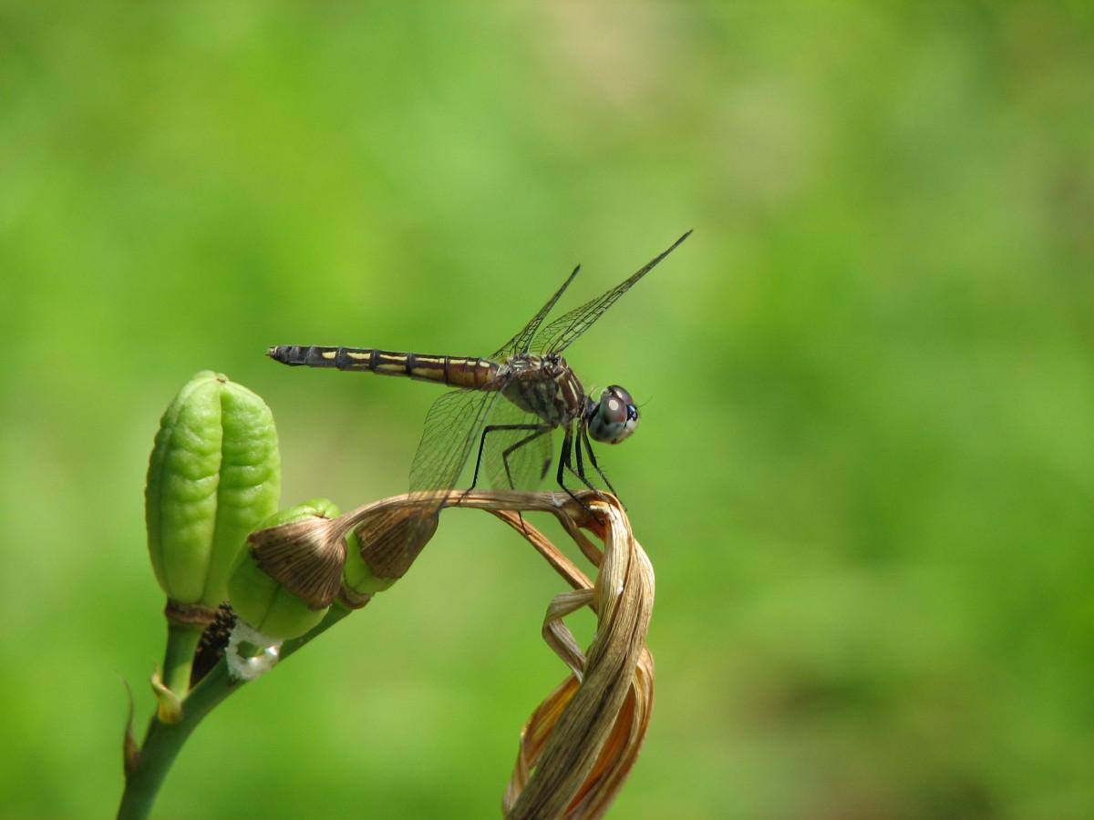 Images gratuites la nature aile lac vert insecte - Insecte vert volant ...