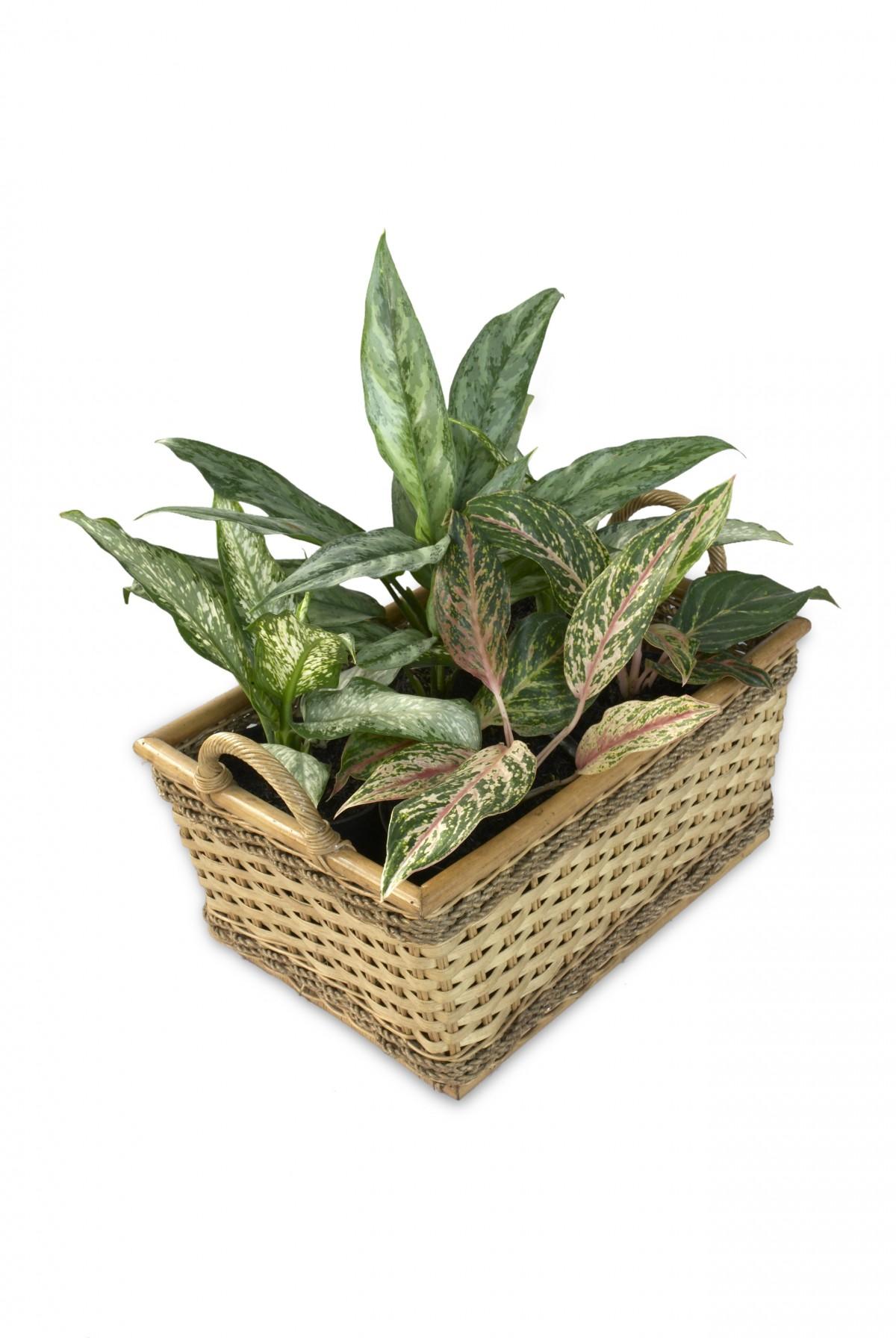 Banco de imagens plantar folha flor maconha verde for Planta ornamental venenosa dieffenbachia