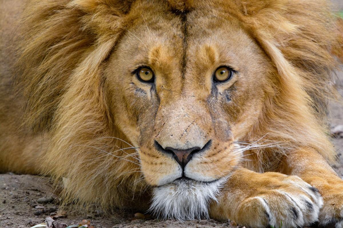 mammal, lion, vertebrate, wildlife, hair, felidae, masai lion, terrestrial animal, whiskers, big cats, snout, nose, eye, carnivore, mane, organism, close up, adaptation, mouth, zoo, temple, fur