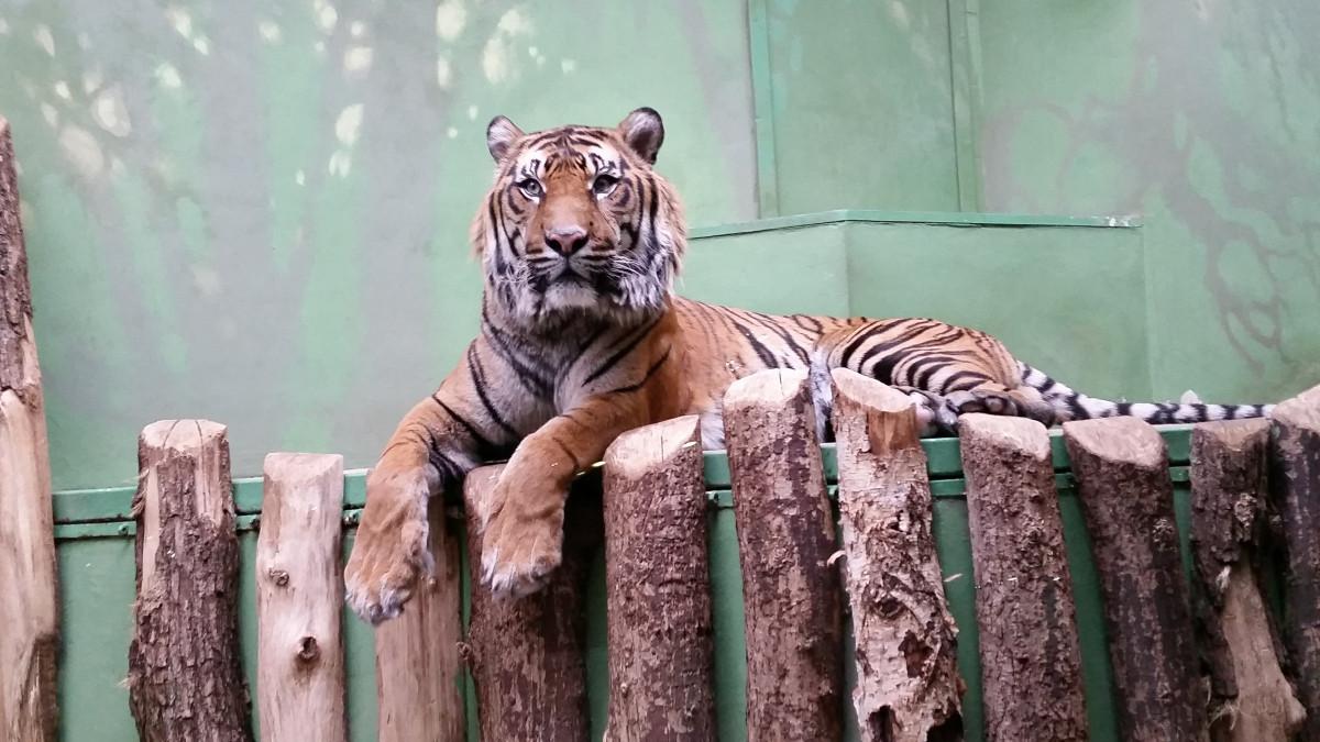 images gratuites faune zoo chat pr dateur dormir tigre portrait animal se sentir la. Black Bedroom Furniture Sets. Home Design Ideas
