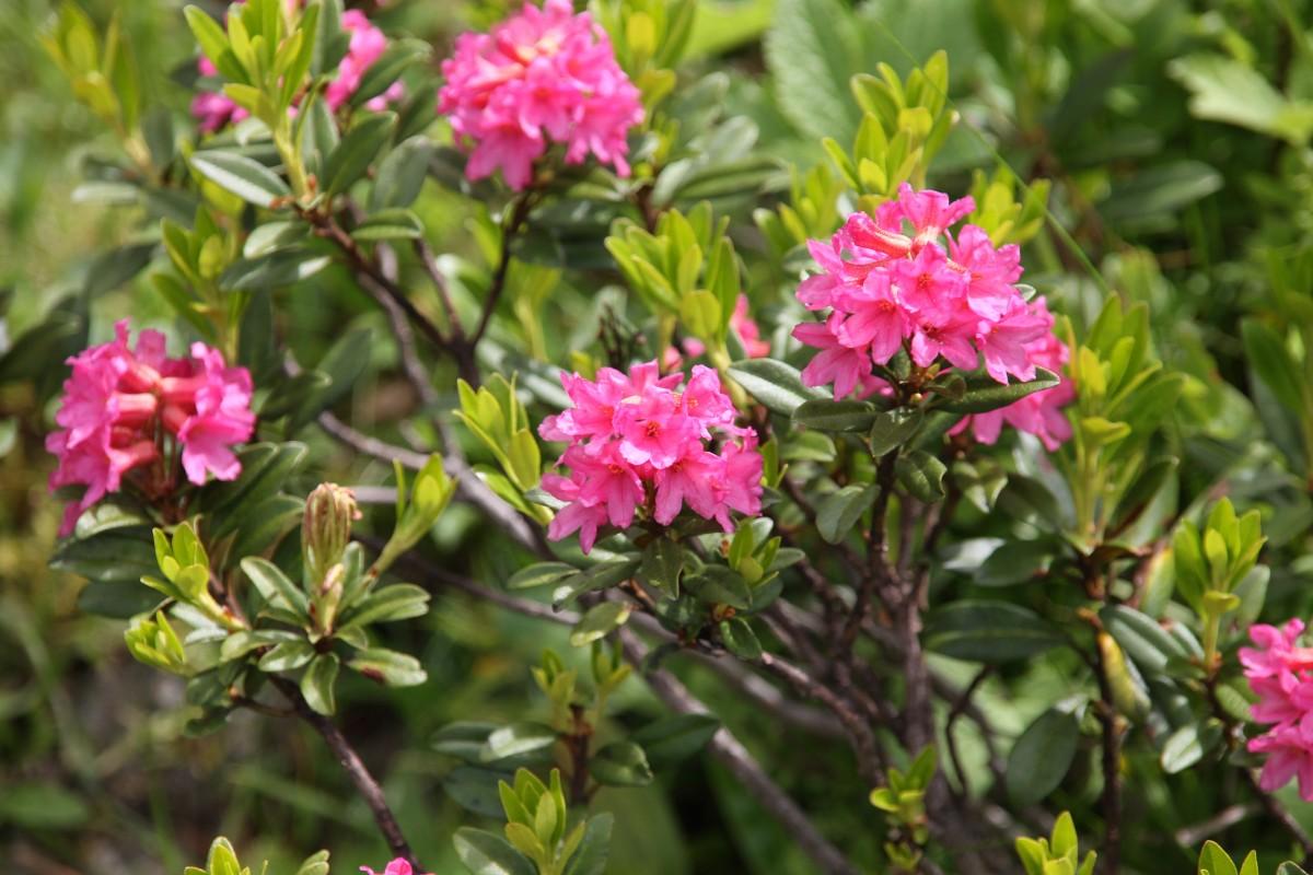 De Flores En La Montana: Fotos Gratis : Flor, Hojas Perennes, Botánica, Flora