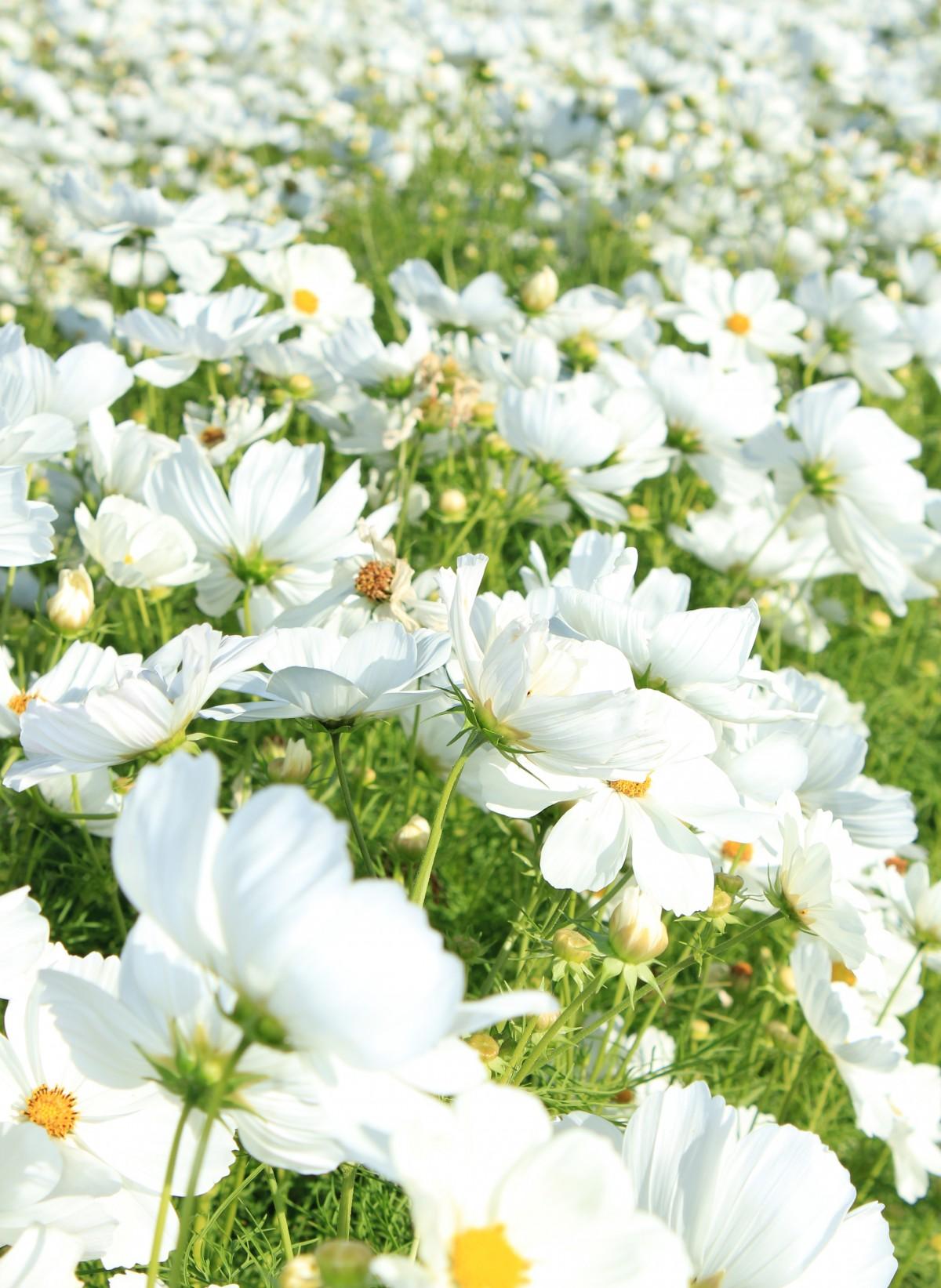 картинки цветы белого цвета для собак, поводок