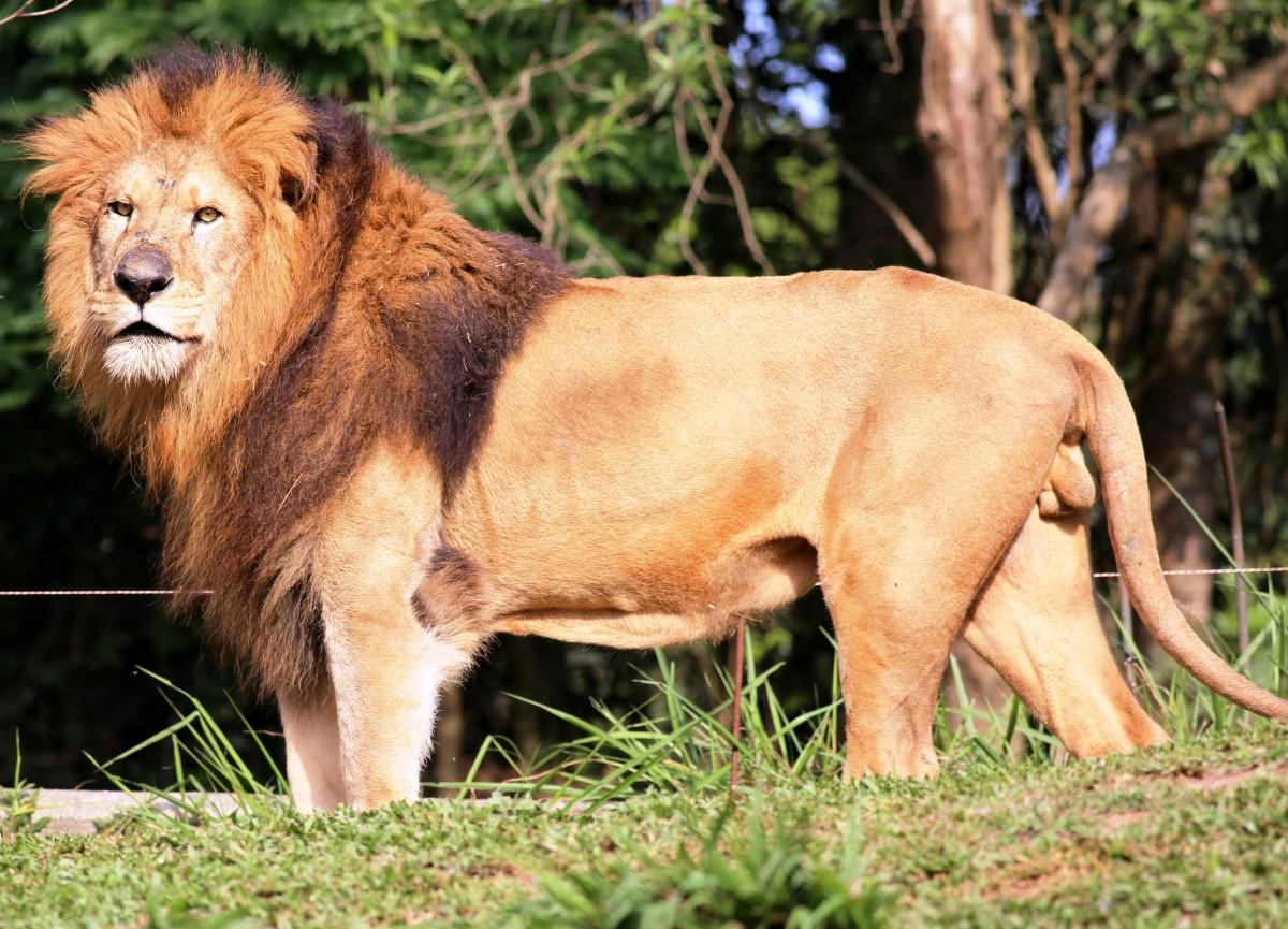 Images gratuites herbe en regardant faune sauvage - Photos de lions gratuites ...