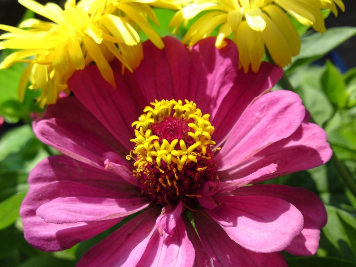 kostenlose foto natur bl hen lila bl tenblatt fr hling botanik gelb flora wilde blume. Black Bedroom Furniture Sets. Home Design Ideas