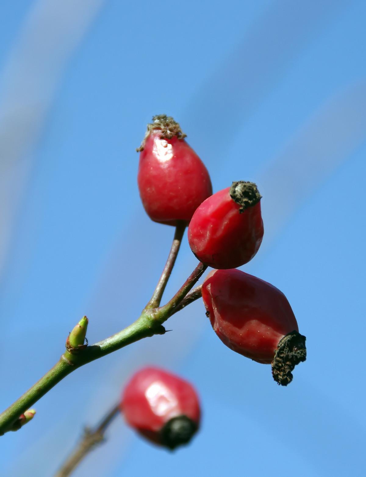 Images gratuites branche fruit tomber fleur aliments - Poil a gratter plante ...