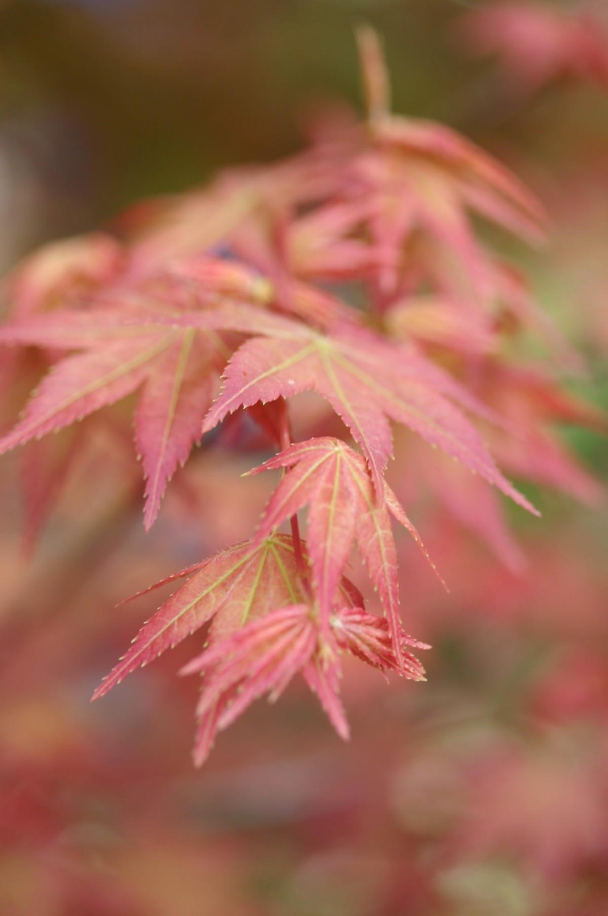 kostenlose foto baum ast bl hen sonnenlicht blatt blume bl tenblatt herbst rosa flora. Black Bedroom Furniture Sets. Home Design Ideas