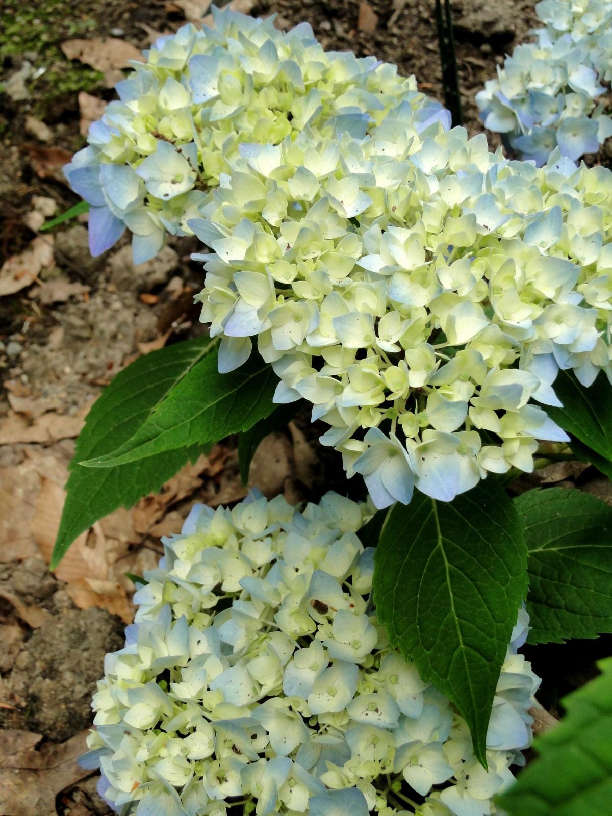 Free Images Flower Botany Blooming Blue Garden Flora