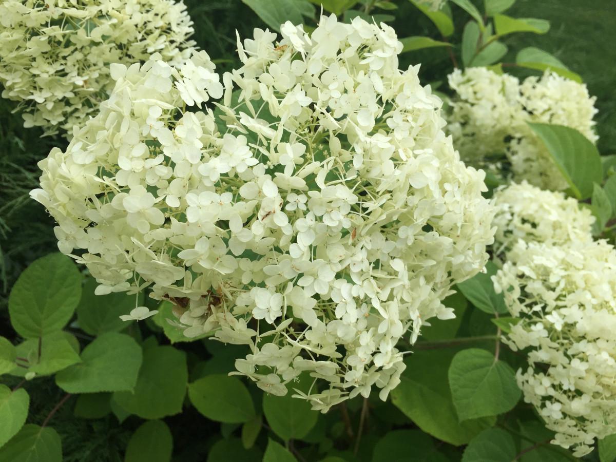 kostenlose foto natur bl hen wei sommer busch botanik nahansicht hortensie wei e. Black Bedroom Furniture Sets. Home Design Ideas