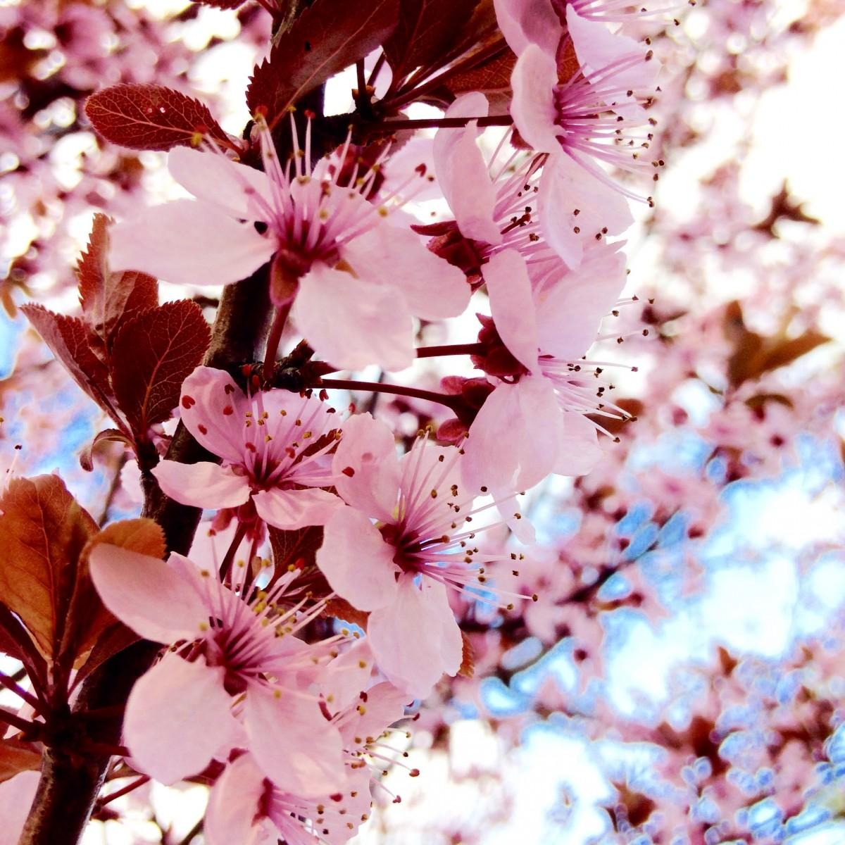 Free Images : Branch, Flower, Petal, Food, Spring, Produce